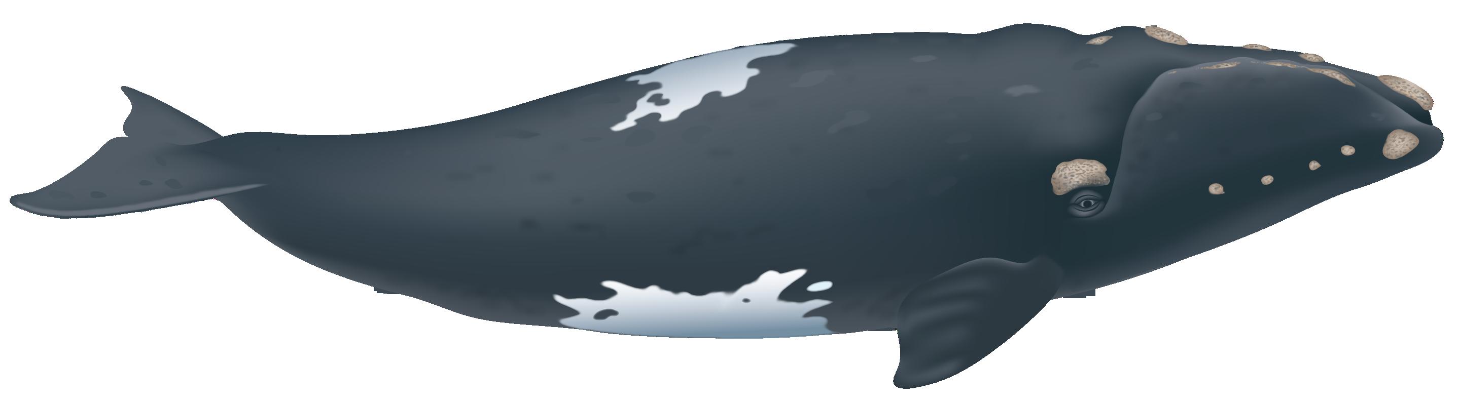 Eubalaena Australis Society For Marine Mammalogy