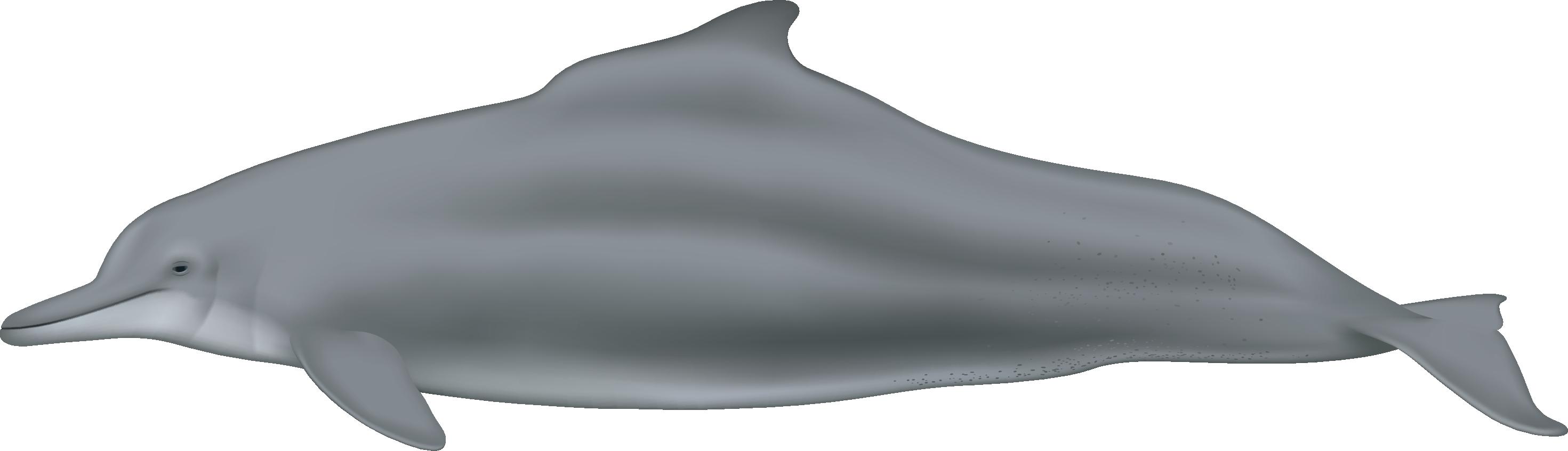 Sousa teuszii - Society for Marine Mammalogy